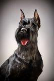 Perro negro del Schnauzer gigante Imágenes de archivo libres de regalías