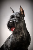 Perro negro del Schnauzer gigante Imagen de archivo