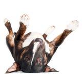 Perro negro del terrier de toro que miente upside-down fotografía de archivo libre de regalías