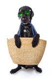 Perro negro del verano divertido con los accesorios del verano Imagen de archivo