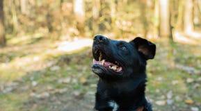 Perro negro en el bosque, boca abierta foto de archivo