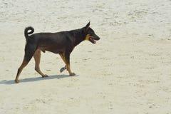 Perro negro en la playa Foto de archivo