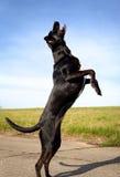 Perro negro en las piernas traseras Imagen de archivo