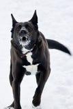 Perro negro enojado Imagenes de archivo