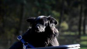 Perro negro feliz en el parque Volkspark Rehberge del ` s de la gente en la Berlín-boda, Alemania almacen de video