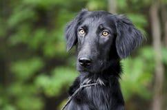 Perro negro femenino del perro perdiguero de la capa plana Fotografía de archivo
