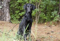 Perro negro femenino del perro perdiguero de la capa plana Fotografía de archivo libre de regalías