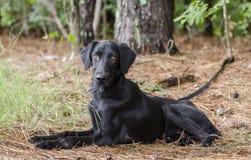 Perro negro femenino del perro perdiguero de la capa plana que coloca afuera Imágenes de archivo libres de regalías