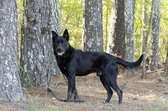 Perro negro grande de la raza de la mezcla del pastor alemán, rescate del animal doméstico Fotos de archivo libres de regalías