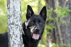 Perro negro grande de la raza de la mezcla del pastor alemán, rescate del animal doméstico Foto de archivo libre de regalías