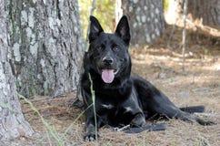 Perro negro grande que coloca, rescate de la raza de la mezcla del pastor alemán del animal doméstico Fotografía de archivo libre de regalías