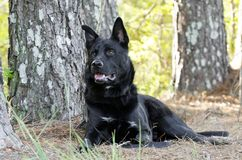 Perro negro grande que coloca, rescate de la raza de la mezcla del pastor alemán del animal doméstico Imágenes de archivo libres de regalías