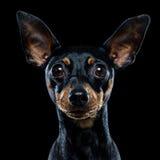 Perro negro inteligente Imagen de archivo libre de regalías