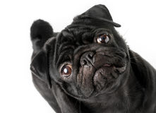 Perro negro joven del barro amasado aislado fotografía de archivo libre de regalías