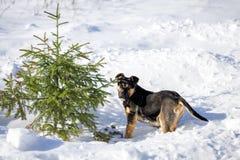 Perro negro joven en la nieve cerca del árbol de navidad Imagenes de archivo