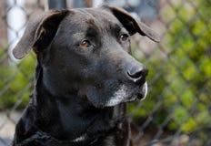 Perro negro mayor del labrador retriever Foto de archivo libre de regalías