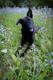 Perro negro que coloca en flores salvajes púrpuras Imagenes de archivo