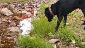 Perro negro que come la hierba, animales domésticos nacionales, guardando animales afuera, al azar criada almacen de video