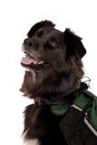Perro negro que desgasta un paquete Foto de archivo