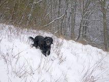 Perro negro que disfruta de un funcionamiento en el bosque, en la nieve En marzo de 2018 Fotografía de archivo libre de regalías