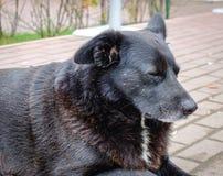 Perro negro que miente en el camino de piedra Imagen de archivo libre de regalías