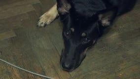 Perro negro que miente en el piso de madera almacen de video