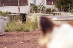 Perro negro que mira al perro blanco que pide luchar Fotos de archivo