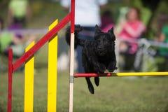 Perro negro que salta en la competencia de la agilidad Fotografía de archivo libre de regalías