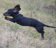 Perro negro que vuela Imagen de archivo libre de regalías