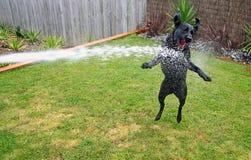 Perro negro sediento de Labrador Fotografía de archivo libre de regalías