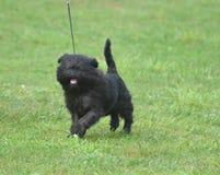 Perro negro sonriente del Affenpinscher imagenes de archivo