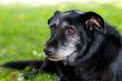 Perro negro viejo imagen de archivo