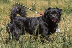 Perro negro viejo emocional que presenta al aire libre, perrito mullido lindo en un wa Fotos de archivo libres de regalías