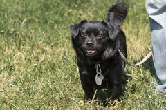 Perro negro viejo emocional que presenta al aire libre, perrito mullido lindo en un wa Imágenes de archivo libres de regalías
