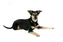 Perro negro y tan grande en alto fondo dominante Foto de archivo