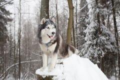 Perro noble en el perro esquimal del bosque del invierno Foto de archivo