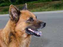 Perro, nueve meses, retrato tailandés del perro Imagen de archivo libre de regalías