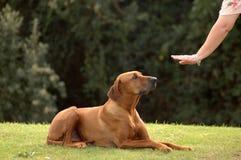 Perro obediente Fotografía de archivo libre de regalías