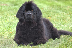 Perro obediente de Terranova Imagenes de archivo