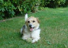 Perro obeso Imagen de archivo libre de regalías
