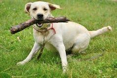Perro para un paseo con el palillo Fotografía de archivo libre de regalías