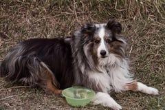 Perro pastor año de once Shetland imagen de archivo