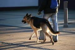 Perro pastor alemán Imagen de archivo