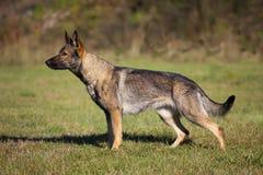 Perro pastor alemán Foto de archivo libre de regalías