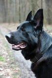 Perro, pastor alemán en la naturaleza Fotografía de archivo