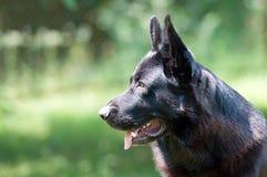 Perro, pastor alemán en la naturaleza Imágenes de archivo libres de regalías