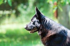 Perro, pastor alemán en la naturaleza Fotos de archivo libres de regalías