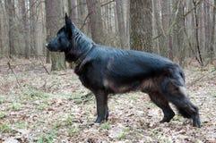 Perro, pastor alemán que se coloca en frente en el bosque Foto de archivo