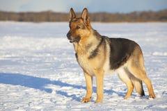Perro pastor alemán Fotografía de archivo libre de regalías