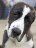 Perro pastor asiático triste Imagen de archivo libre de regalías